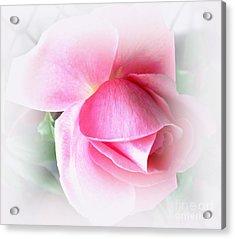 Heartfelt Pink Rose Acrylic Print by Judy Palkimas