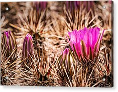 Hedgehog Cactus Flower And Buds Acrylic Print by  Onyonet  Photo Studios