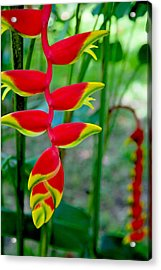 Heliconia--flower In Chiapas Acrylic Print by Matthew Bamberg