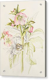 Hellebores Acrylic Print by Alison Cooper