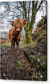 Hello Cow Acrylic Print by Adrian Evans