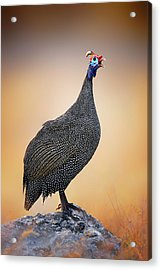 Helmeted Guinea-fowl Perched On A Rock Acrylic Print by Johan Swanepoel