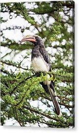 Hemprichs's Hornbill (tockus Hemprichii) Acrylic Print by Peter J. Raymond