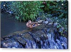 Hen Fall Acrylic Print by Skip Willits