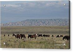 Herd Of Wild Horses Acrylic Print by Juli Scalzi