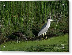 Heron And Ibis Acrylic Print by Mark Newman