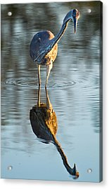 Heron Looking At Its Own Reflection Acrylic Print by Andres Leon