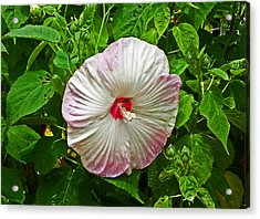 Hibiscus Acrylic Print by Aimee L Maher Photography and Art Visit ALMGallerydotcom
