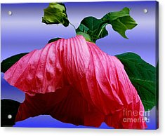 Hibiscus Bloom Wilted Acrylic Print by ImagesAsArt Photos And Graphics