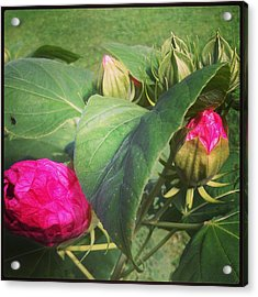 Hibiscus Read To Bloom Acrylic Print by Brittany Perez
