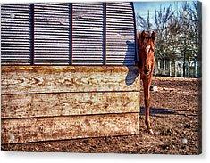 Hidden Horse Acrylic Print by Ian Van Schepen