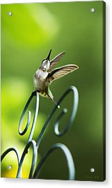 High Spirit Hummingbird Acrylic Print by Christina Rollo