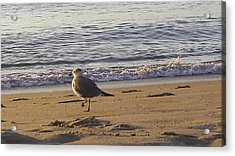 High Stepping In The Sand Acrylic Print by Debra Bowers