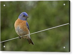 High Wire Acrylic Print by Jean Noren