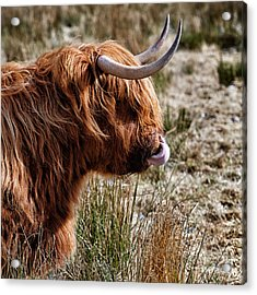 Highland Coo With Tongue In Nose Acrylic Print by John Farnan