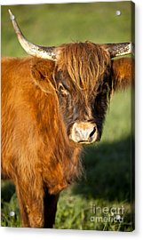 Highland Cow Acrylic Print by Brian Jannsen