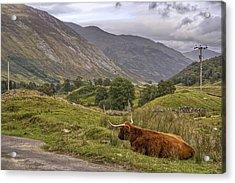 Highland Cow In Scotland Acrylic Print by Jason Politte