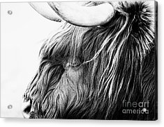 Highland Cow Mono Acrylic Print by John Farnan