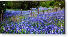 Hill Country Heaven - Texas Bluebonnets Wildflowers Landscape Fence Flowers Acrylic Print by Jon Holiday