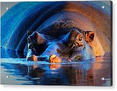Hippopotamus  At Sunset Acrylic Print by Johan Swanepoel