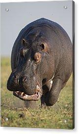 Hippopotamus Bull Charging Botswana Acrylic Print by Vincent Grafhorst