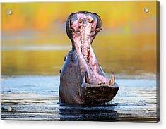Hippopotamus Displaying Aggressive Behavior Acrylic Print by Johan Swanepoel