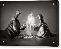 Hippo's Fighting Acrylic Print by Johan Swanepoel