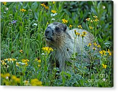 Hoary Marmot In Glacier Np Meadow Acrylic Print by Natural Focal Point Photography