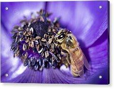 Honeybee And Anemone  Acrylic Print by Priya Ghose