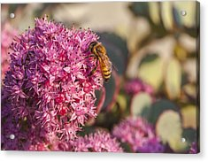 Honeybee On A Dark Pink Sedum Flower Acrylic Print by Laura Berman