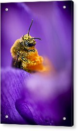 Honeybee Pollinating Crocus Flower Acrylic Print by Adam Romanowicz