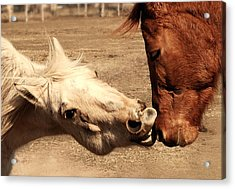 Horse Play Acrylic Print by Steven Milner