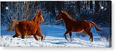 Horses At Play Acrylic Print by Tracy Winter