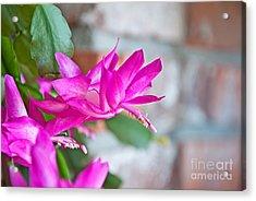 Hot Pinnk Christmas Cactus Flower Acrylic Print by Valerie Garner