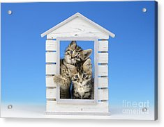 House Of Kittens Ck528 Acrylic Print by Greg Cuddiford