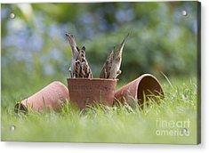 House Sparrows Feeding Acrylic Print by Tim Gainey