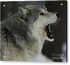 Howling Gray Wolf  Acrylic Print by Inspired Nature Photography Fine Art Photography
