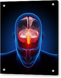 Human Brain Acrylic Print by Johan Swanepoel