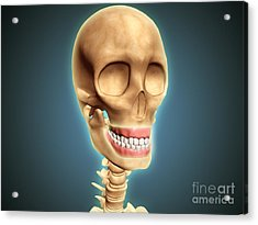 Human Skeleton Showing Teeth And Gums Acrylic Print by Stocktrek Images