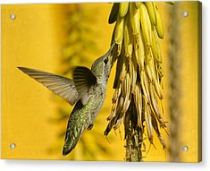 Hummingbird And The Aloe Blooms Acrylic Print by Saija  Lehtonen