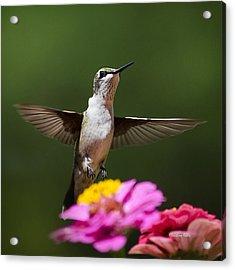Hummingbird Acrylic Print by Christina Rollo