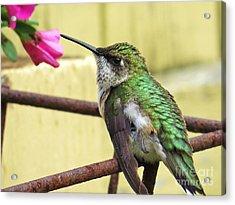 Hummingbird Details 4 Acrylic Print by Judy Via-Wolff