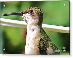 Hummingbird Details 5 Acrylic Print by Judy Via-Wolff
