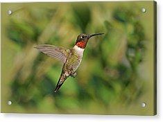 Hummingbird In Flight Acrylic Print by Sandy Keeton
