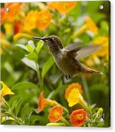 Hummingbird Looking For Food Acrylic Print by Heiko Koehrer-Wagner