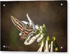 Hummingbird Moth Acrylic Print by Jeff Swanson
