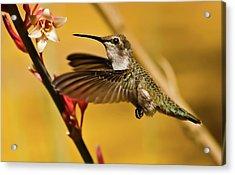 Hummingbird Acrylic Print by Robert Bales