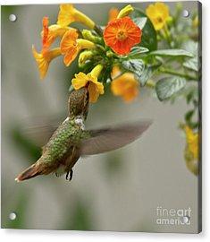 Hummingbird Sips Nectar Acrylic Print by Heiko Koehrer-Wagner