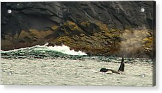 Humpback Whale Acrylic Print by Debra  Miller
