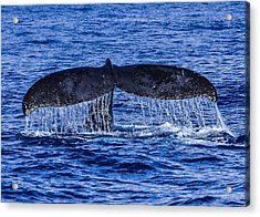 Humpback Whale Tail Fluke During Deep Dive Acrylic Print by Puget  Exposure
